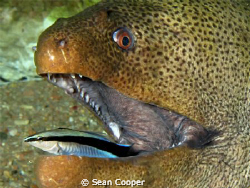 Giant moray with wrasse by Sean Cooper 
